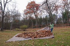 Man pulling tarp with leaves_3 Stock Image