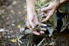 A man pulling up a vegetable plant by its roots Royalty Free Stock Images