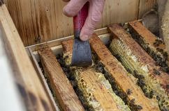 A man pulls out of the hive frame with honey and bees. The beekeeper in the apiary. Pulls the frame out of the hive. Bees on the honeycomb. A beekeeper taking a stock photos