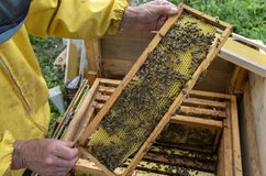 A man pulls out of the hive frame with honey and bees. The beekeeper in the apiary. Pulls the frame out of the hive. Bees on the honeycomb. A beekeeper taking a royalty free stock photography
