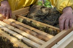 A man pulls out of the hive frame with honey and bees. The beekeeper in the apiary. Pulls the frame out of the hive. Bees on the honeycomb. A beekeeper taking a stock photography