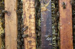 A man pulls out of the hive frame with honey and bees. The beekeeper in the apiary. Pulls the frame out of the hive. Bees on the honeycomb. A beekeeper taking a stock images