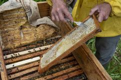 A man pulls out of the hive frame with honey and bees. The beekeeper in the apiary. Pulls the frame out of the hive. Bees on the honeycomb. A beekeeper taking a royalty free stock image
