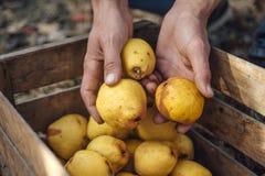 Man puts organic pears royalty free stock photo