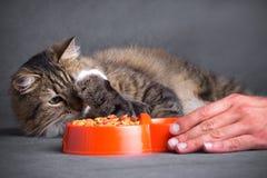 Man& x27; ręka rusza się puchar jedzenie kot Obrazy Stock