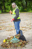 Man with rake collects leaves Royalty Free Stock Images