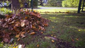 Man with rake remove leaves and acorns from the lawn stock footage