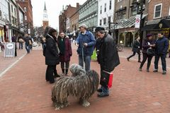 Man with rare striking puli dogs covered in dreadlocks talking to people. On Church Street Marketplace, Burlington, Vermont, USA, December 27, 2014 royalty free stock images