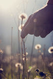 Man reaching down to pick a dandelion clock Royalty Free Stock Photos
