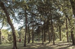Man in the woods. Man in red surrounded by tall trees in Stock Photography