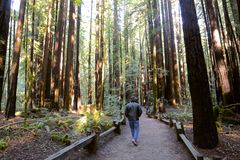 Forest man redwood trees Royalty Free Stock Image