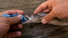 Man remove plastic on Cod fish mouth dead eating disposal glove trash,pollution