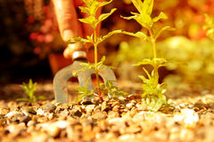Man removing weeds from gravel with a garden fork Stock Photos