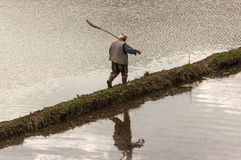 Man in rice paddy Royalty Free Stock Photography