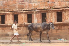 Man riding a bull in a village, India Stock Images
