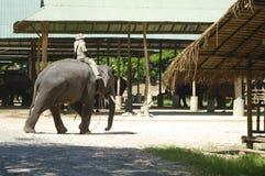 Man riding an elephant Royalty Free Stock Photos