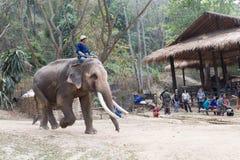 Man riding elephant in the park Royalty Free Stock Photo