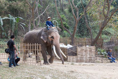Man riding elephant in the park Stock Photography