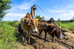 Man riding oxcart Stock Photography
