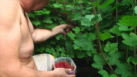 Man rips red currants in the garden Stock Photos