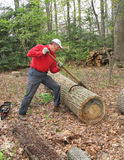 Man rolling log with peavey. Man using peavey (a type of cant hook) to move large oak log royalty free stock photos