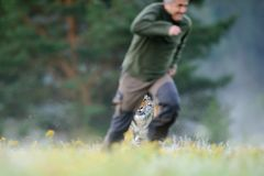 Man running out before tiger royalty free stock photo