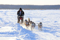The man rushes on a dogsled Royalty Free Stock Photos