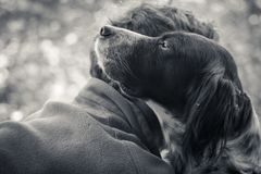 Man`s affection for his english setter dog in black and white. In the woods Stock Images