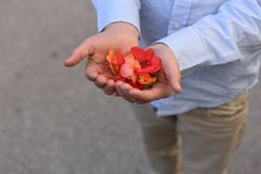 Young man`s arms in blue shirt holding rose petals. Man`s arms in blue shirt holding rose petals in his hands Stock Image