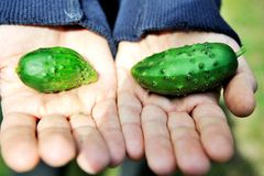 Man's arms holding two tiny cucumbers Royalty Free Stock Photography