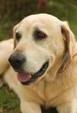 Man's best fried. Man's best friend - Labrador Retriever Stock Images