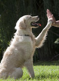 Man's best friend. Labradoodle, high fiving his owner Royalty Free Stock Images