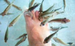 Man`s feet in fish spa aquarium. Doctor fish in glass fishtank. South Asia pedicure procedure. Natural health care and spa treatment. Silver fish in aquarium stock photography