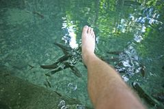 Man`s foot in a fish foot spa. Nibbled feet at an outdoor fish foot spa below the Old Enchanted Balete Tree on Siquijor Island, Philippines Stock Photography