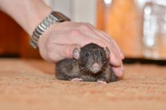 Black pet rat. A man`s hand caresses black homemade rat breed Dumbo Stock Photography