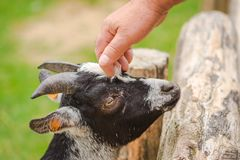 A man`s hand caring a goat face; save animals
