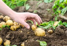 A man`s hand is drawn to a young potato. The company for harvesting potatoes. The farmer is working in the field. Growing of royalty free stock photography