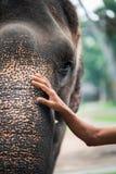 A man`s hand on the face of an elephant.Tolerant attitude towards animals concept. Close up stock photos