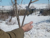A man`s hand feeds a bird Royalty Free Stock Photo