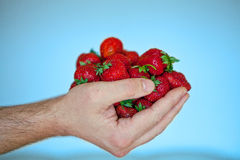 Man's hand filled with fresh red strawberries on blue background Royalty Free Stock Images