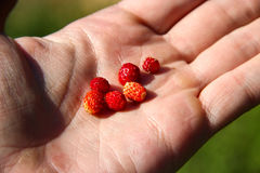 Man's hand full of red fresh ripe wild strawberries outdoor in a summer forest. Stock Photos
