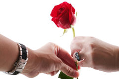 Man's hand giving a red rose to a womans hand Royalty Free Stock Images