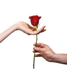 Man's hand giving a rose to a woman Stock Photography