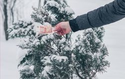 A man`s hand in a grey jacket is getting a five thousand Russian roubles banknote from a snow covered juniper tree. Concept. Christmas gift. Good luck Stock Images