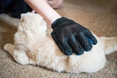 A man`s hand in grooming rubber blue glove combs fluffy Scottish royalty free stock photo