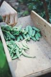 Man`s Hand Harvesting Green Peas royalty free stock photo