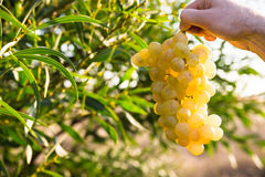 Man´s hand holding a bunch of ripe white grapes in the sunlight, in a green field background, near green tree leaves Stock Photo