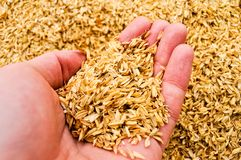 A man`s hand holding a handful of rice chaff stock images