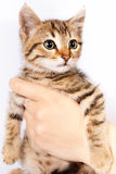 A man's hand holding a kitten Royalty Free Stock Photos