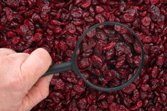 Man's hand holding a magnifying glass over the cranberries Royalty Free Stock Image